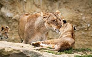 Fotos Löwe Löwin Jungtiere