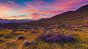 Hintergrundbilder USA Sonnenaufgänge und Sonnenuntergänge Lavendel Ranunkel Kalifornien Hügel Mojave Desert Natur