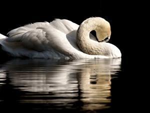 Fotos Vögel Schwäne Schwarzer Hintergrund Spiegelung Spiegelbild Weiß Tiere