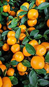 Bilder Zitrusfrüchte Mandarine Viel Blatt Lebensmittel