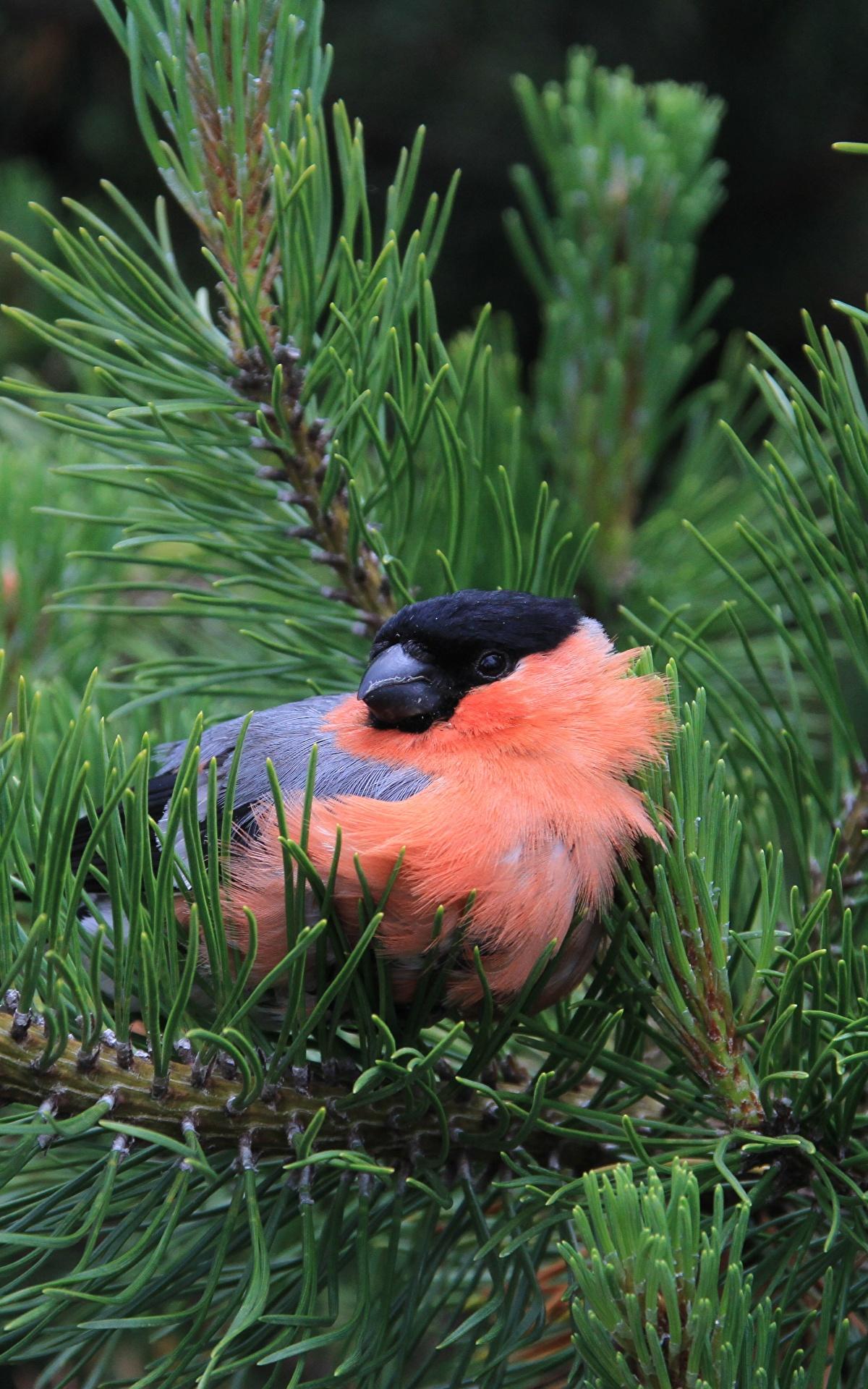 Fotos von Gimpel Vögel Fichten Ast Tiere Großansicht 1200x1920