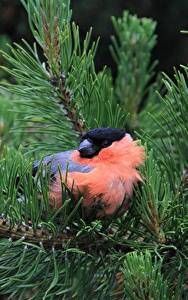 Hintergrundbilder Vögel Gimpel Großansicht Ast Fichten Tiere