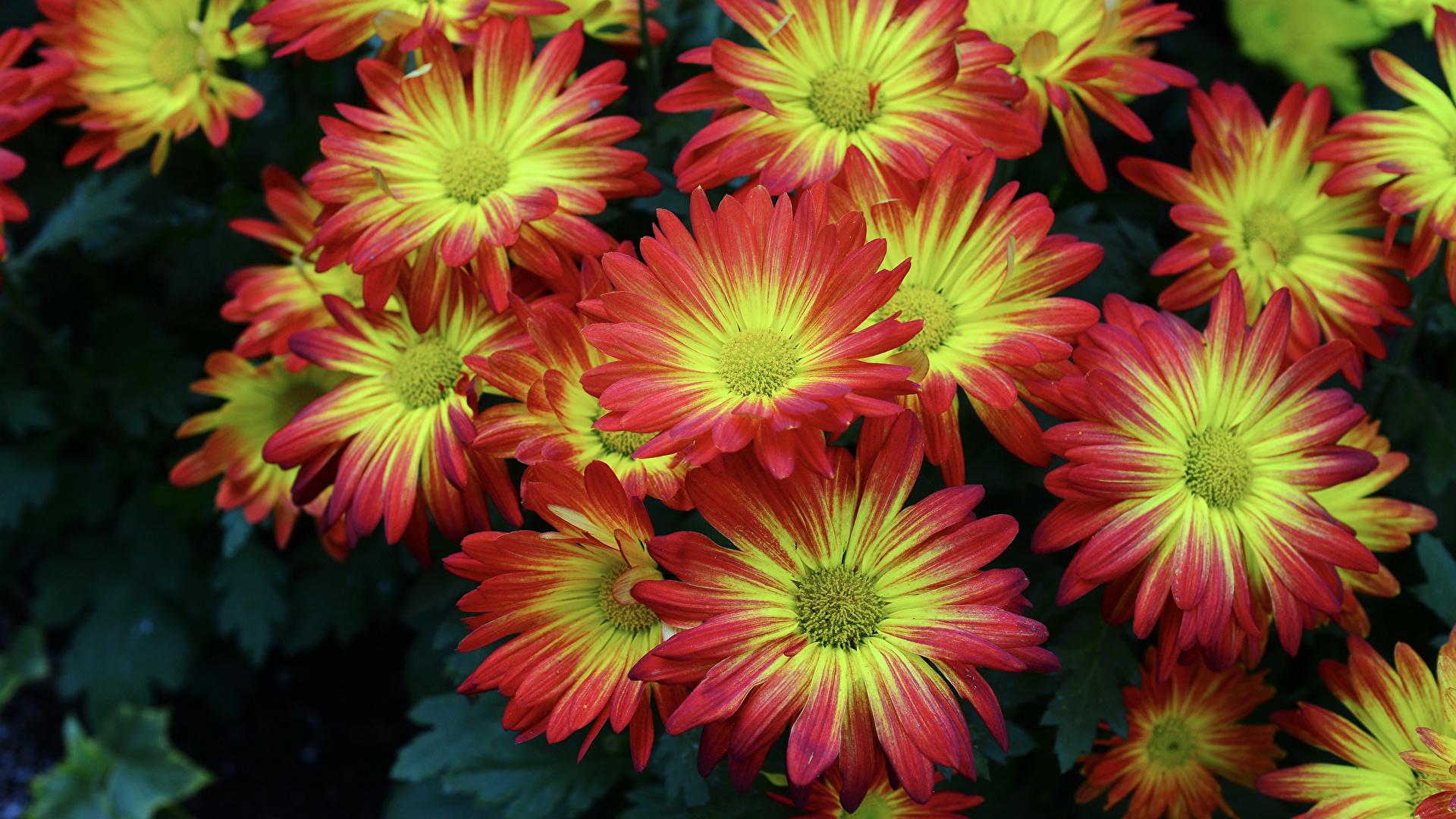 Images Flowers Chrysanthemums Closeup 1920x1080