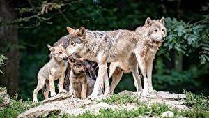 Photo Wolves Cubs Animals