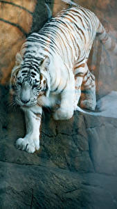 Pictures Tigers White Animals