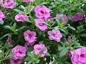 Hintergrundbilder Calibrachoa Großansicht Violett Blumen