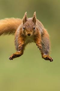 Fotos Hörnchen Sprung Flug Unscharfer Hintergrund ein Tier