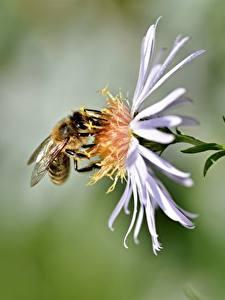 Fotos Nahaufnahme Bienen Insekten Bokeh ein Tier