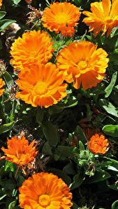 Fotos Ringelblumen Großansicht Orange Blüte