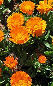 Fotos Ringelblumen Großansicht Orange Blumen