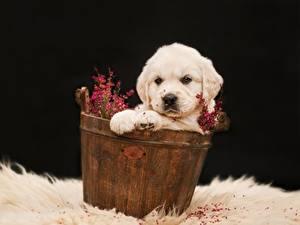 Bilder Hund Golden Retriever Welpe