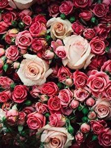 Bilder Rosen Viel Blumen