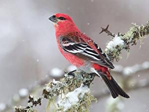 Fotos Vögel Großansicht Ast Pine grosbeak Tiere