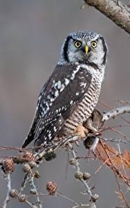 Fotos Eule Vogel Starren Ast northern hawk-owl