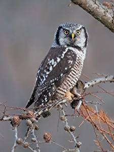 Fotos Eule Vogel Starren Ast northern hawk-owl ein Tier