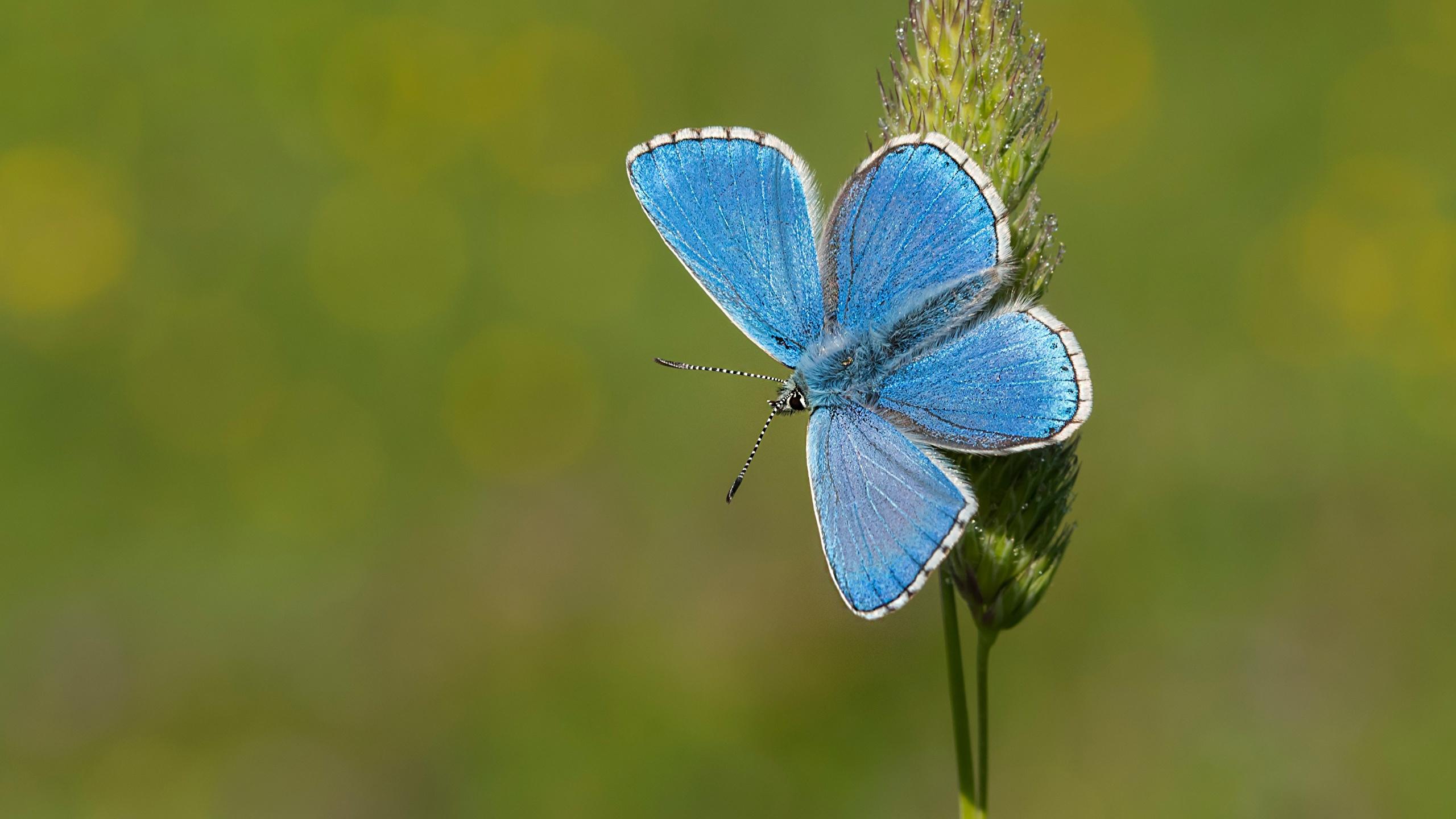 Bilder Schmetterlinge Adonis blue Hellblau Tiere Nahaufnahme 2560x1440 Schmetterling hautnah ein Tier Großansicht