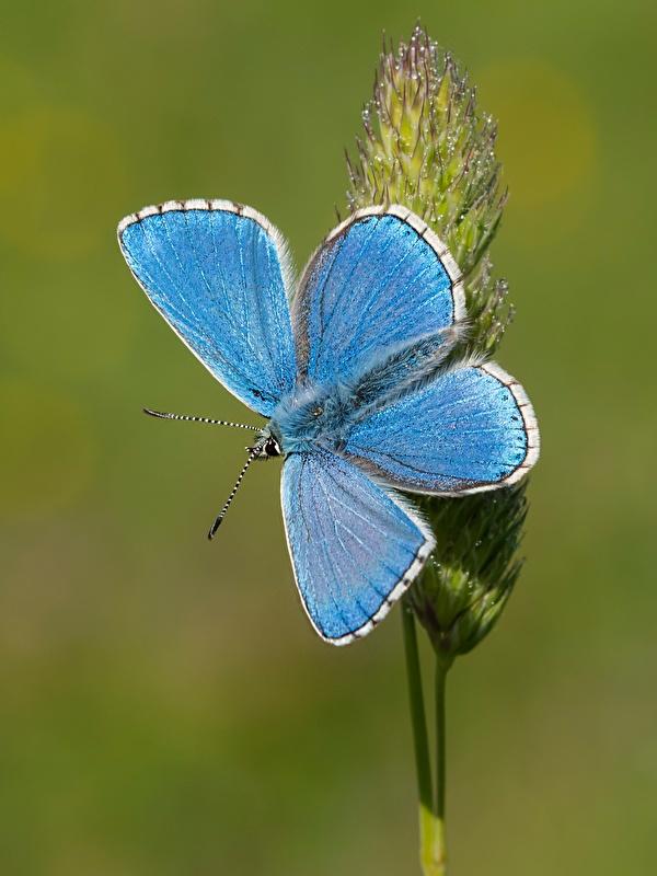 Bilder Schmetterlinge Adonis blue Hellblau Tiere Nahaufnahme 600x800 für Handy Schmetterling hautnah ein Tier Großansicht