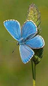 Bakgrundsbilder på skrivbordet Fjärilar Närbild Ljusblå Adonis blue Djur