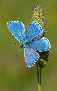 Images Butterflies Closeup Light Blue Adonis blue animal