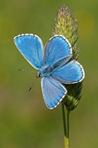Papel de Parede Desktop Lepidoptera De perto Celeste Adonis blue animalia