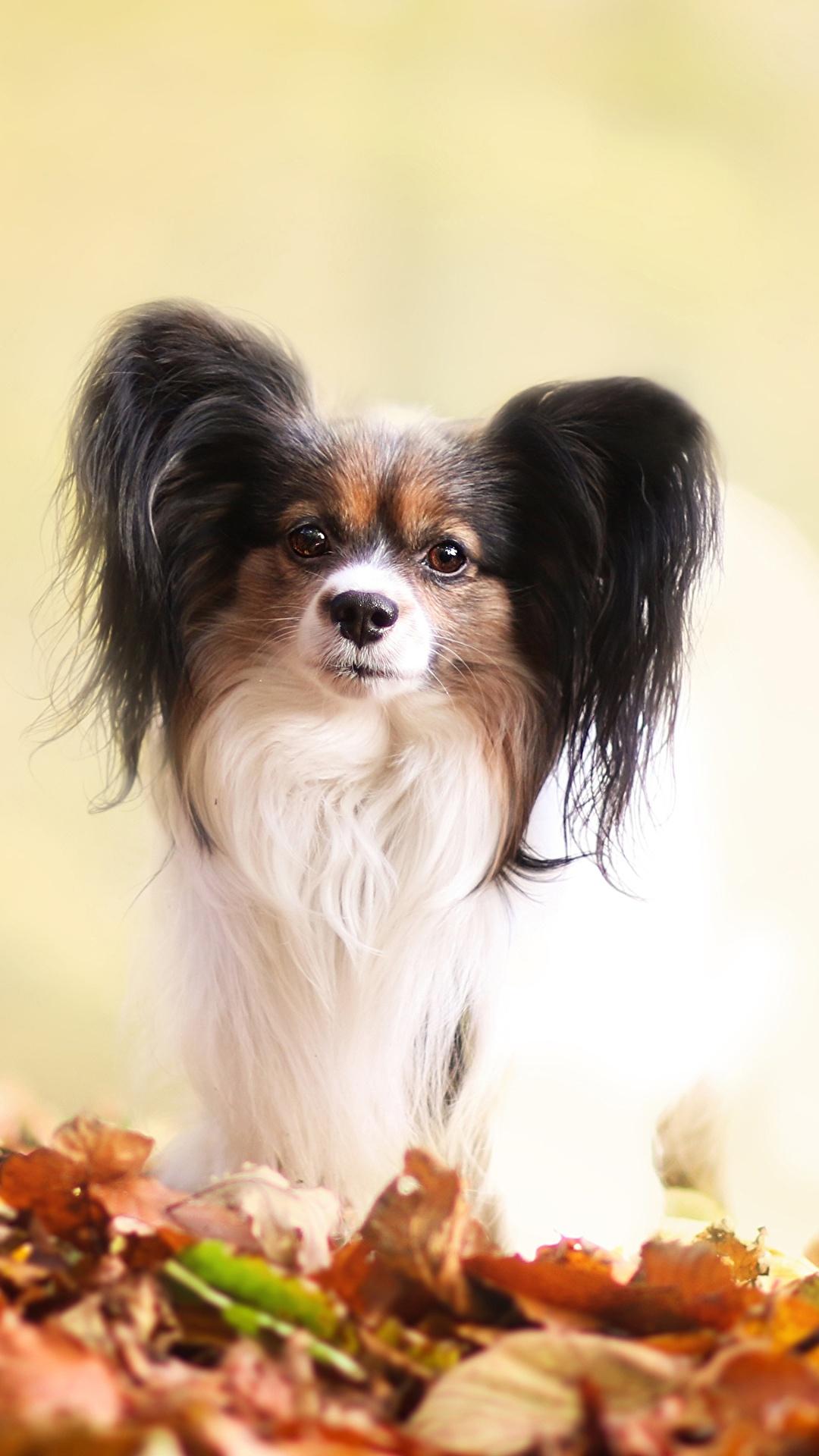 Sfondi del desktop Papillon cane Animali 1080x1920