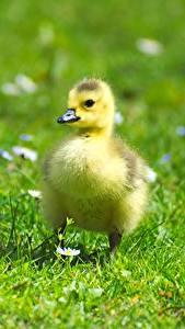 Hintergrundbilder Vogel Gänse Babys Kücken Gras Unscharfer Hintergrund