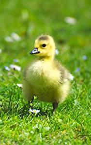 Hintergrundbilder Vogel Gänse Babys Kücken Gras Unscharfer Hintergrund Tiere