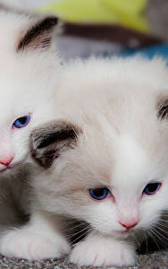 Fotos Katzen Katzenjunges Zwei Weiß