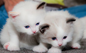 Photo Cat Kitty cat Two White Animals