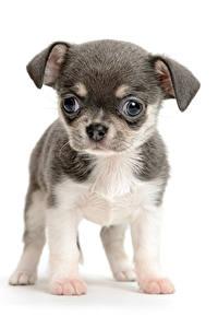 Hintergrundbilder Hunde Weißer hintergrund Welpen Chihuahua Tiere