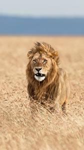 Bilder Löwe Acker Afrika Tiere