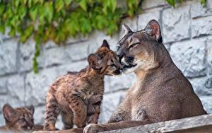 Fotos Pumas Jungtiere