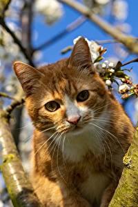 Bilder Hauskatze Ast Starren Schnurrhaare Vibrisse Orange rot ein Tier