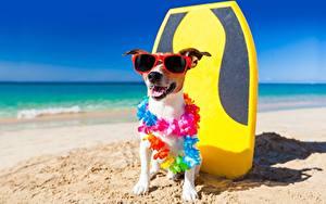 Bilder Hunde Lustige Jack Russell Terrier Brille Tiere