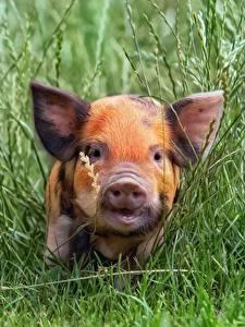 Fotos Hausschwein Jungtiere Gras Schnauze ein Tier