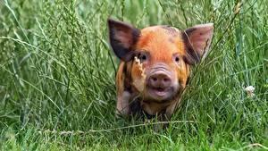Desktop hintergrundbilder Hausschwein Jungtiere Gras Schnauze ein Tier