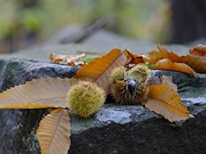 Fotos Stein Kastanien Herbst Nahaufnahme Blattwerk