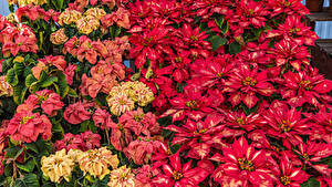 Pictures Euphorbia Many Closeup Multicolor Flowers
