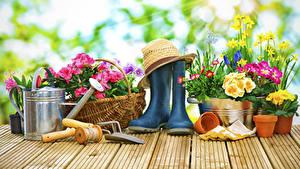 Fotos Primeln Narzissen Gänseblümchen Bretter Stiefel Der Hut Blumen