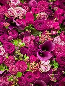 Bilder Rosen Calla palustris Violett
