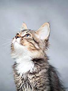 Bilder Hauskatze Kätzchen Starren Tiere