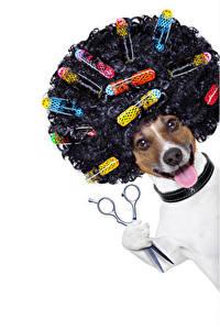 Fotos Hunde Weißer hintergrund Jack Russell Terrier Haar Zunge Lustige Frisur Tiere