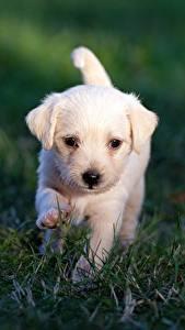 Bilder Hunde Labrador Retriever Welpe Weiß Gras Unscharfer Hintergrund Tiere