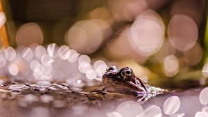 Bilder Frosche Unscharfer Hintergrund ein Tier