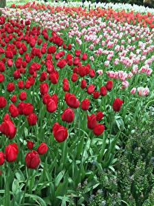 Hintergrundbilder Niederlande Park Tulpen Viel Keukenhof Blumen