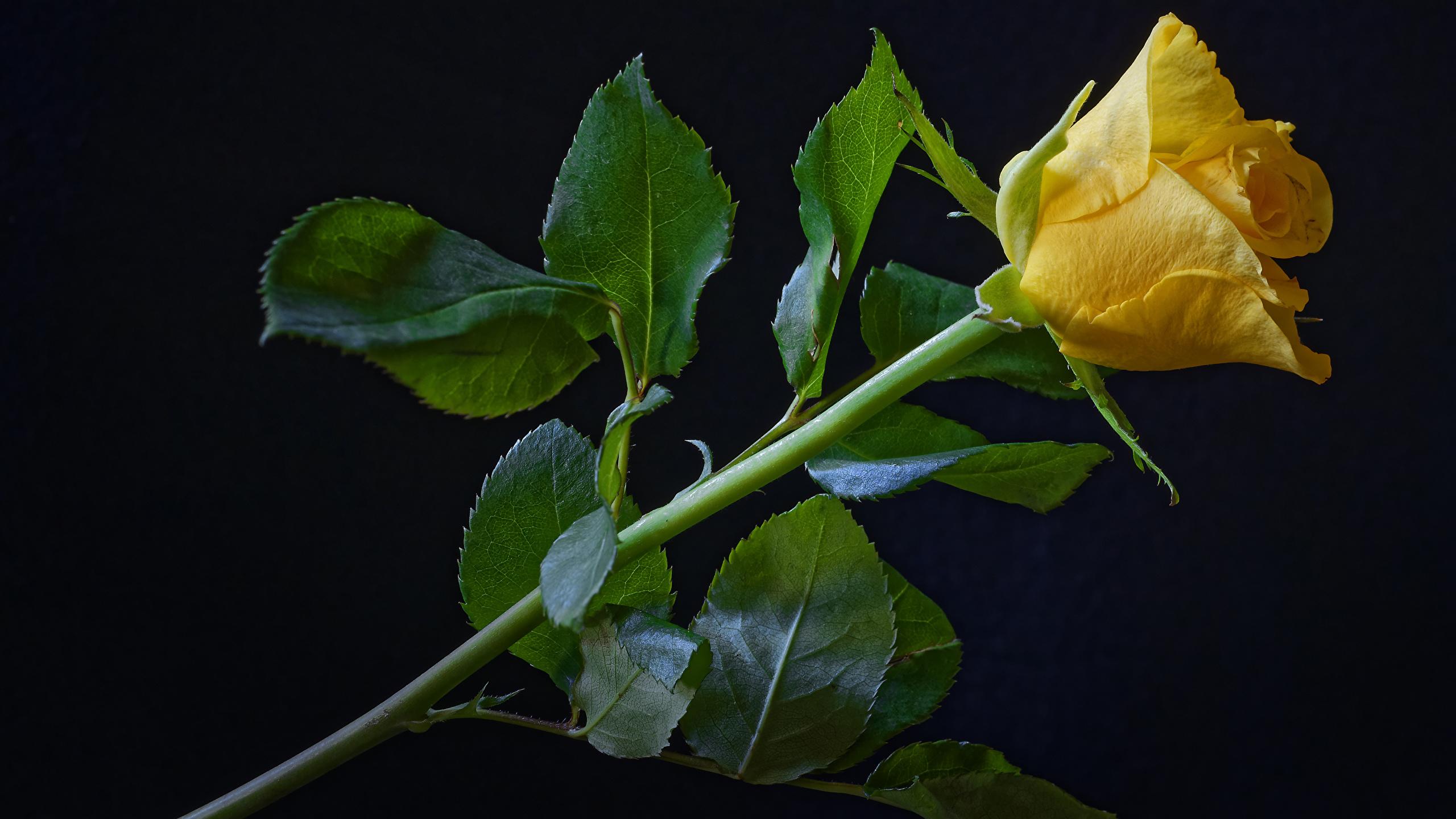 Desktop Wallpapers Roses Yellow Flowers Closeup Black 2560x1440
