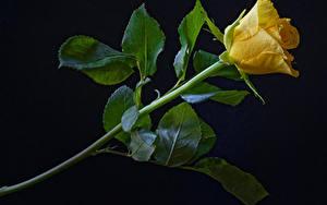 Fotos Rosen Großansicht Schwarzer Hintergrund Gelb