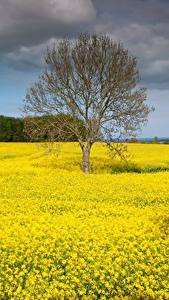 Wallpapers Germany Fields Rapeseed Trees  Nature
