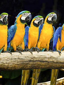 Bilder Vögel Papageien Eigentliche Aras Ast Tiere