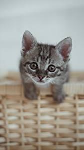桌面壁纸,,家貓,小貓,籃,凝视,灰色,動物